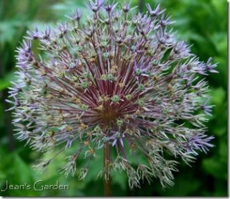 Allium Globemaster transformation (photo credit: Jean Potuchek)