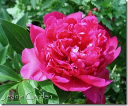 Unidentified deep pink peony (photo credit: Jean Potuchek)