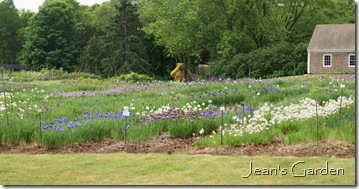 Siberian iris fields at Tranquil Lake nursery (photo credit: Jean Potuchek)