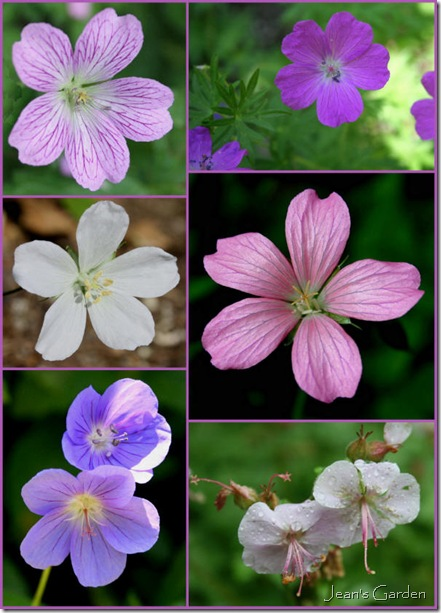 Varieties of hardy geranium (photo credit: Jean Potuchek)