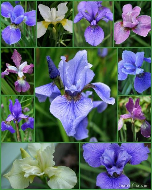 Siberian irises in my garden (photo credits: Jean Potuchek)