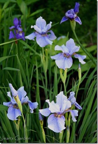 Siberian irises in my garden (photo credit: Jean Potuchek)
