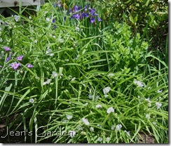 Tradescantia and irises on back slope (photo credit: Jean Potuchek)