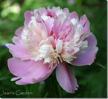 Paeonia 'Monsieur Jules Elie' (photo credit: Jean Potuchek)