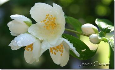 Mock orange blossoms (photo credit: Jean Potuchek)