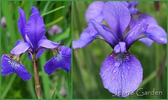 Original siberian irises in my garden (photo credit: Jean Potuchek)