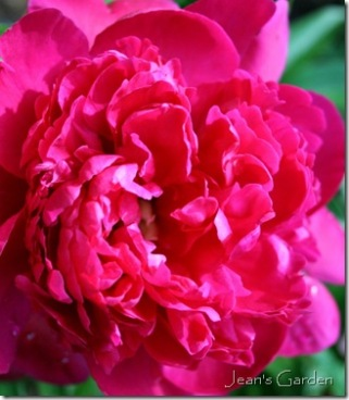 Peony bloom (photo credit: Jean Potuchek)