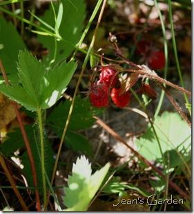 Wild strawberries ready to be picked (photo credit: Jean Potuchek)