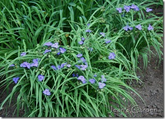 Tradescantia 'Zwanenburg Blue' in bloom (photo credit: Jean Potuchek)