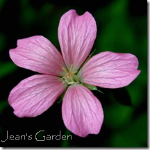 Geranium endressii flower (photo credit: Jean Potuchek)