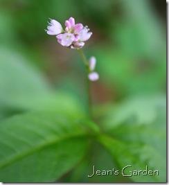 Flower detail of possible Plygonum persicaria (photo credit: Jean Potuchek)
