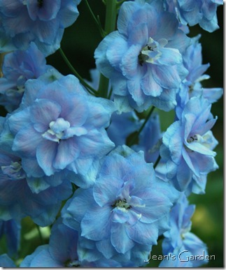 delphinium blue lace (photo credit: Jean Potuchek)