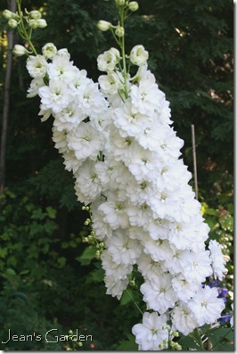 Blooming spires of delphinium double innocence (photo credit: Jean Potuchek)