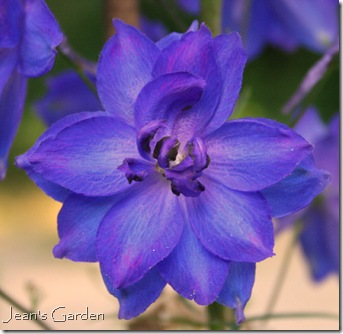 delphinium pagan purple (photo credit: Jean Potuchek)