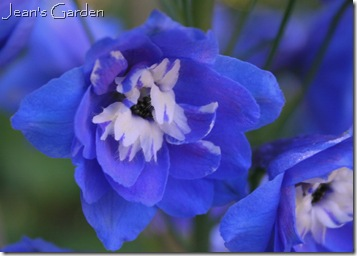 delphinium royal aspirations (photo credit: Jean Potuchek)