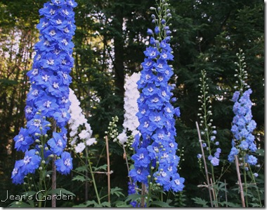 Spires of Delphinium elatum (photo credit: Jean Potuchek)
