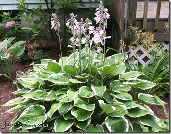 Hosta 'Francee' in bloom (photo credit: Jean Potuchek)