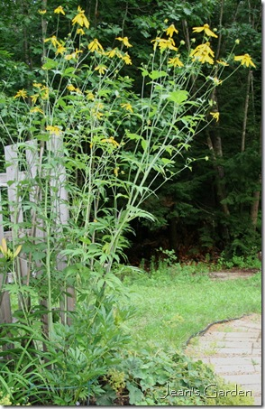 Rudbeckia 'Herbstsonne' grown too tall and lanky (photo credit: Jean Potuchek)