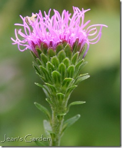 Liatris aspera beginning to bloom (photo credit: Jean Potuchek)