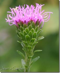 Liatris aspera beginning to bloom (photo credit: Jean Potuchek)