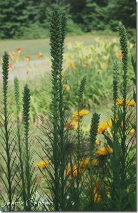 Liatris spicata in bud (photo credit: Jean Potuchek)
