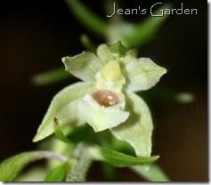 Flower detail on mystery plant (photo credit: Jean Potuchek)