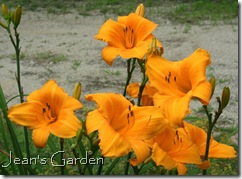 Hemerocallis 'Orange Bounty'
