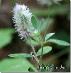 Trifolium arvense (photo credit: Jean Potuchek)