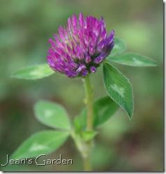 Trifolium pratense (photo credit: Jean Potuchek)