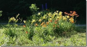 roadside daylilies