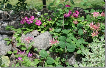 Clematis growing on stone wall (photo credit: Jean Potuchek)