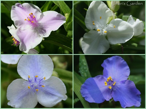 Tradescantia varieties growing in my garden, clockwise from upper left: Pink Chablis, Danielle, Zwanenburg Blue, Osprey (photo credits: Jean Potuchek)