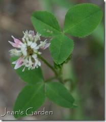 Trifolium repens (photo credit: Jean Potuchek)