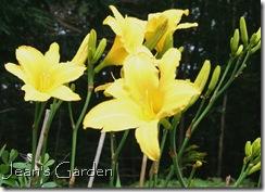 Hemerocallis 'Yellow Pinwheel' (photo credit: Jean Potuchek)