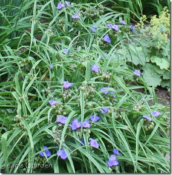 Tradescantia 'Zwanenburg Blue' still blooming  in July (photo credit: Jean Potuchek)