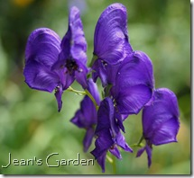 Aconitum henryi Sparks (photo credit: Jean Potuchek)