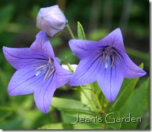 Platycodon grandiflora 'Fuji Blue' (photo credit: Jean Potuchek)