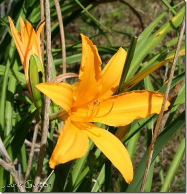Surprise reblooming of yellow-orange daylily (photo credit: Jean Potuchek)