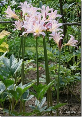 Lycoris squamigera blooming in August at Fernwood (photo credit: Jean Potuchek)