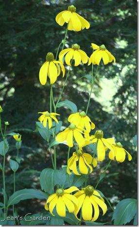 Rudbeckia nitida 'Herbstsonne' (photo credit: Jean Potuchek)