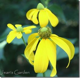 Flowers on Rudbeckia nitida 'Herbstsonne' (photo credit: Jean Potuchek)
