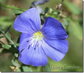 Single bloom on Linum perenne (photo credit: Jean Potuchek)