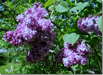 Lilacs blooming at the McLaughlin Garden in South Paris, Maine (photo credit: Jean Potuchek)