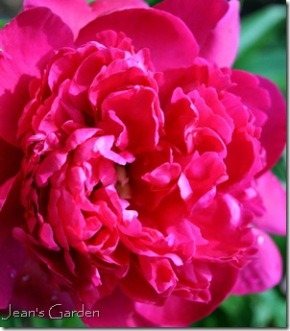 Unidentified pink peony from my mother's garden (photo credit: Jean Potuchek)