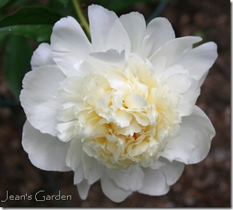 Unknown white peony from my mother's garden (photo credit: Jean Potuchek)