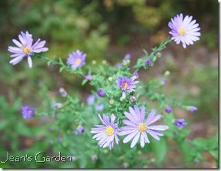 Aster laevis 'Bluebird' (photo credit: Jean Potuchek)