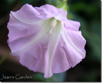 Bindweed flower in my Gettysburg garden (photo credit: Jean Potuchek)