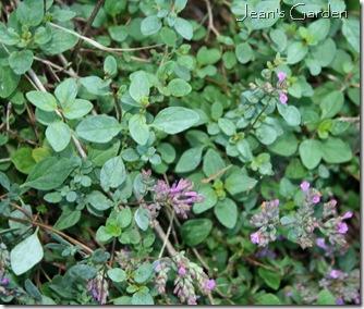 Oregano in bloom (photo credit: Jean Potuchek)