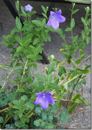 Platycodon 'Mariesii' blooming in my Gettysburg garden (photo credit: Jean Potuchek)