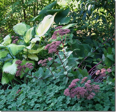 Sedum 'Matrona' with hostas 'Paul's Glory' and nigrescens (photo credit: Jean Potuchek)